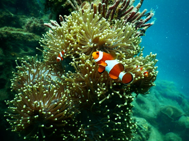 clownfish underwater with anemones